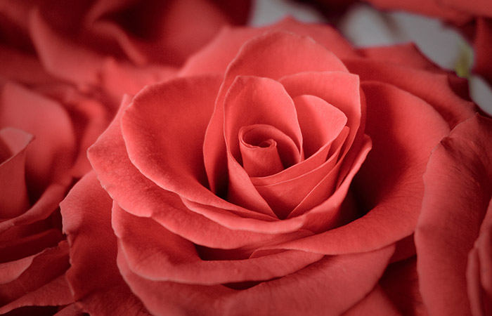 Close-up photograph of a rose representing desire