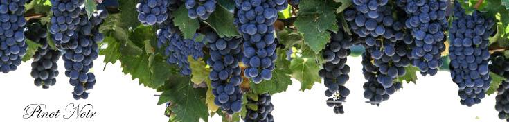 Pinot Noir & Burgundy